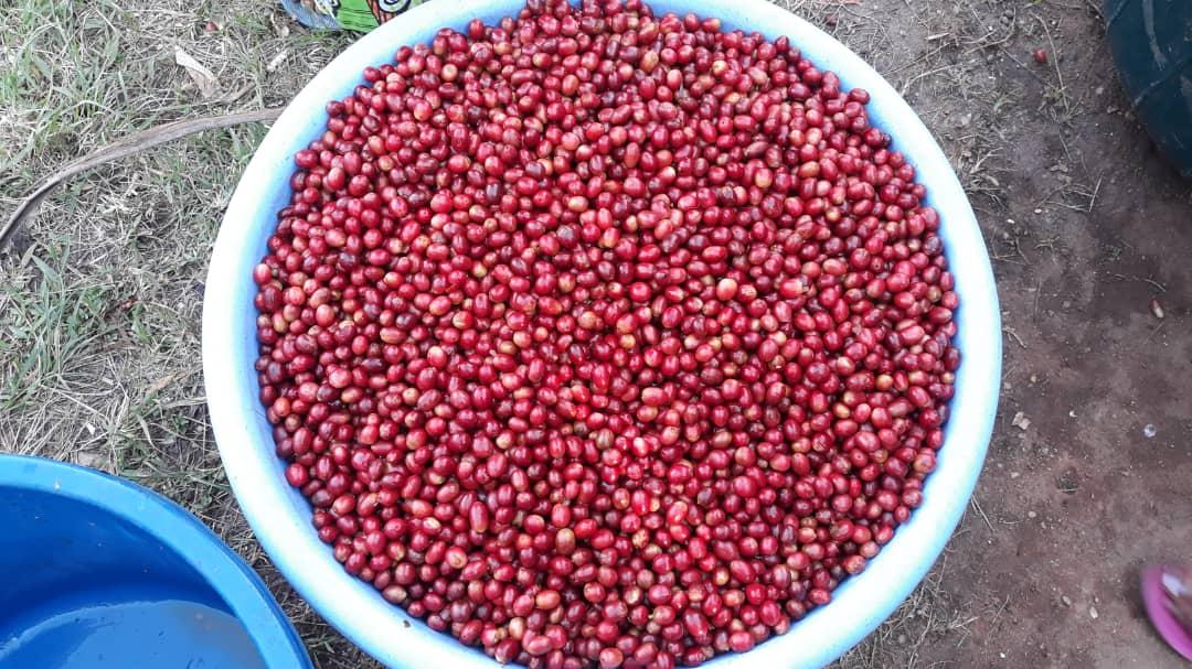 コンゴ民主共和国(DRC)コーヒー